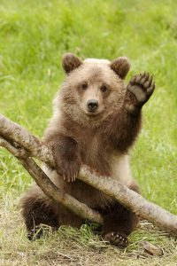 Something you should know about California grizzly bears