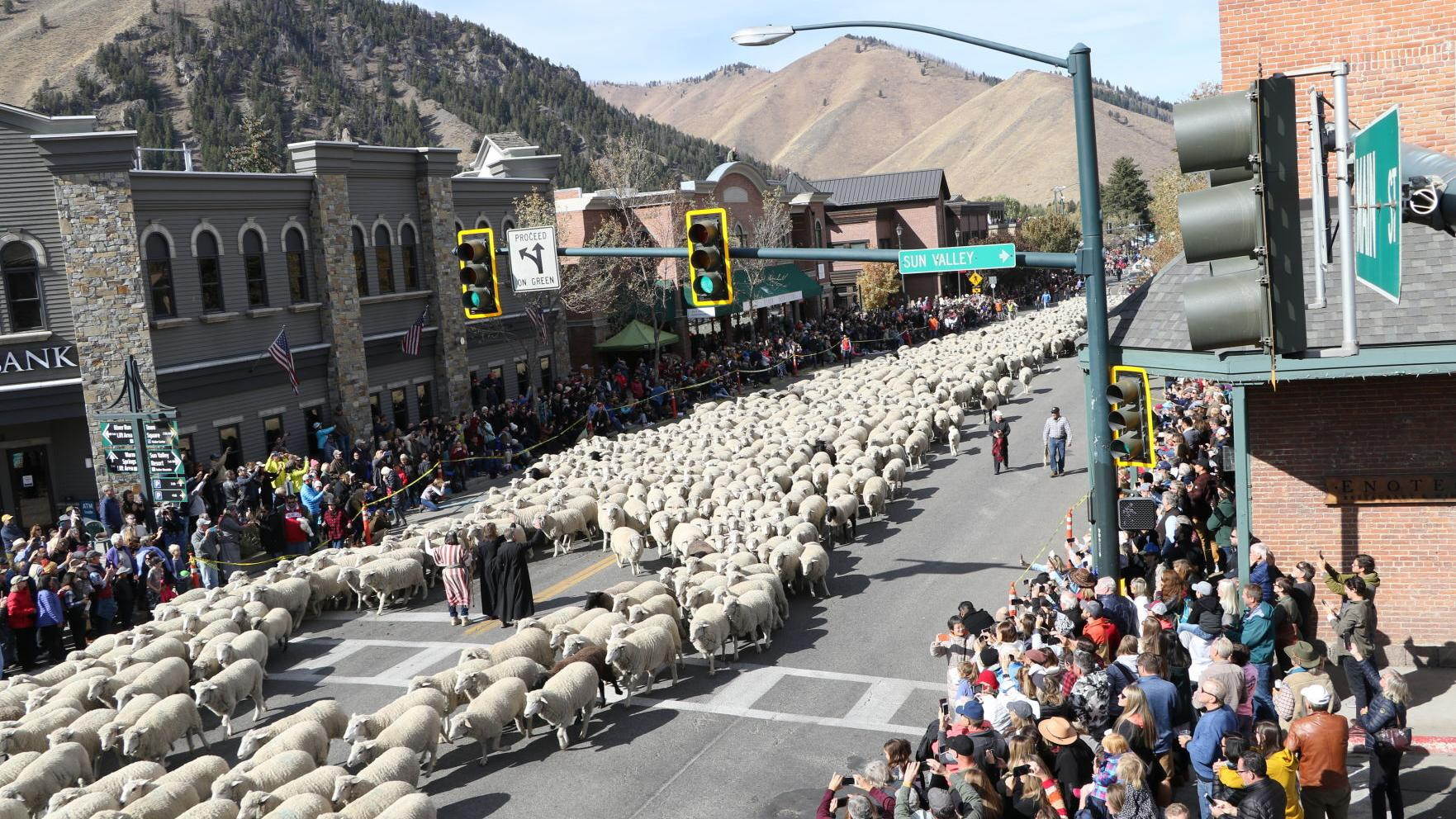 The Big Sheep Parade with the presence of a band of 1,500 sheep